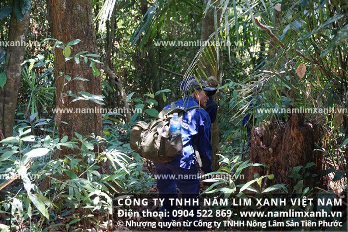 Nấm lim xanh rừng là loài đặc hữu bản địa ở Việt Nam và Lào có tác dụng gì.