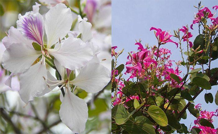 Cách dùng cây hoa ban