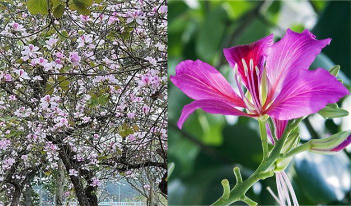Thành phần dược chất của cây hoa ban có tác dụng gì và cách dùng