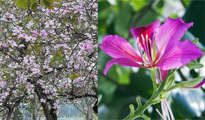Cây hoa ban là gì?