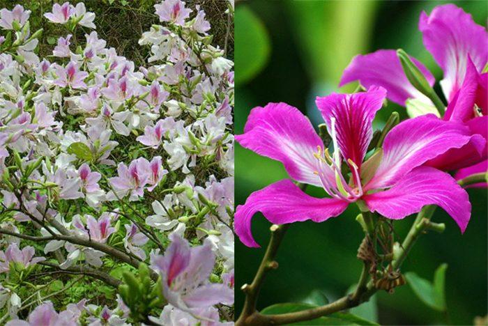 Hình ảnh cây hoa ban