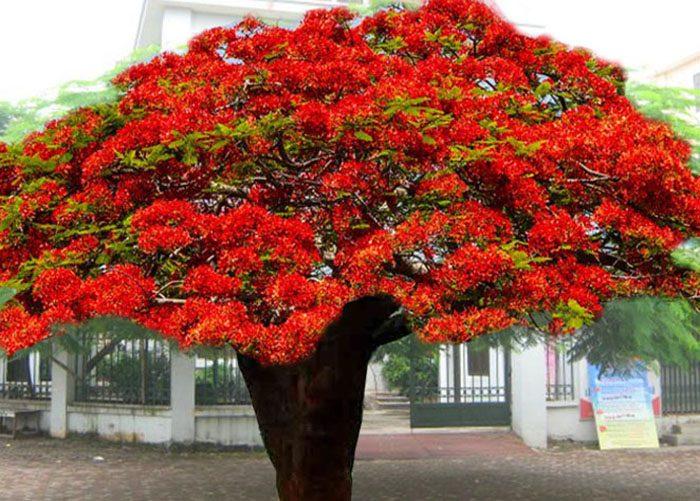 Hình ảnh cây phượng vĩ