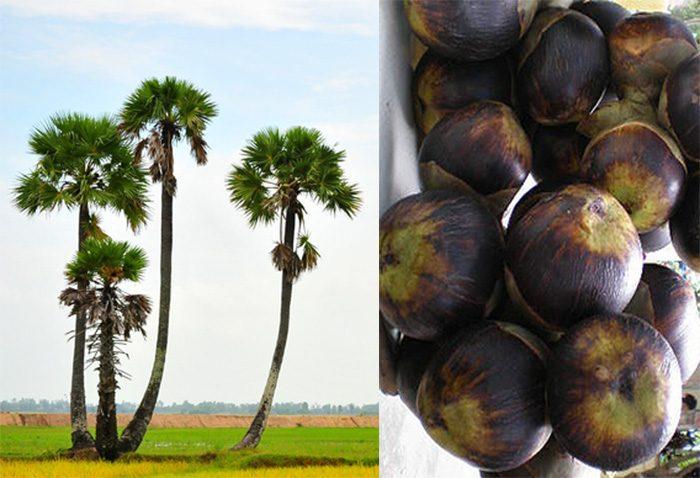 Hình ảnh cây thốt nốt