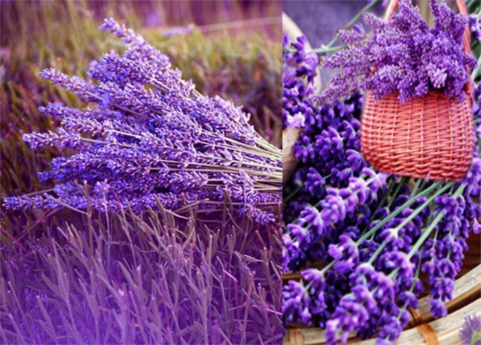 Hình ảnh hoa oải lưu hương