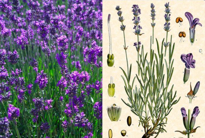 Tác dụng của hoa oải hương là gì và cách nhận biết hoa oải lưu hương