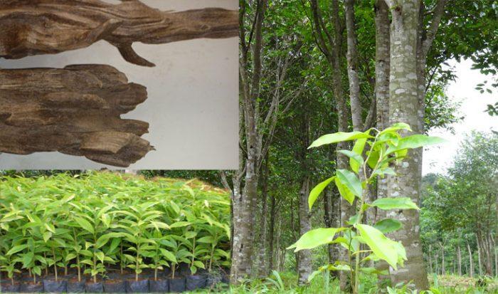Kỹ thuật trồng cây trầm hương