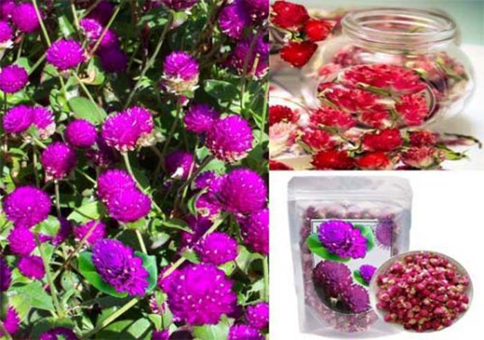 Tác dụng hoa bách nhật hồng