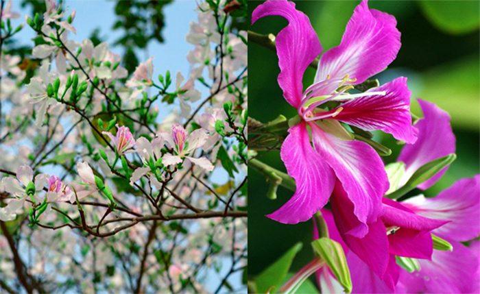 Ý nghĩa cây hoa ban