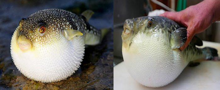 Tác dụng của cá nóc là gì cùng cách dùng và hình ảnh nhận biết cá nóc