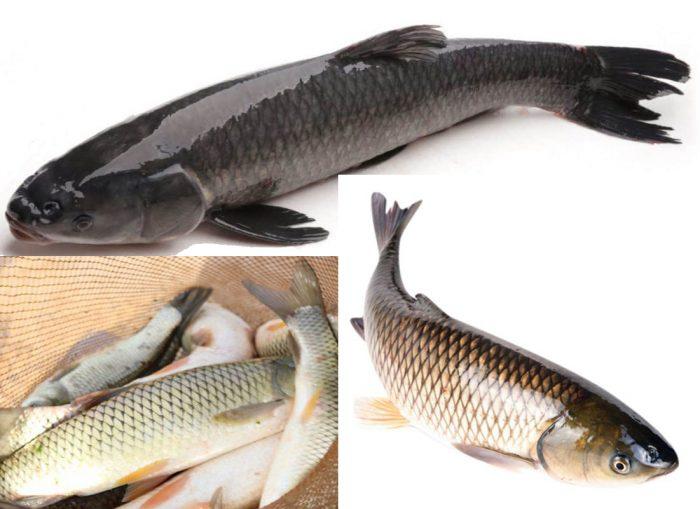 Tác dụng của cá trắm và cách dùng cùng hình ảnh nhận biết cá trắm