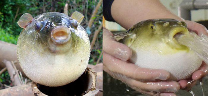 Cách dùng cá nóc