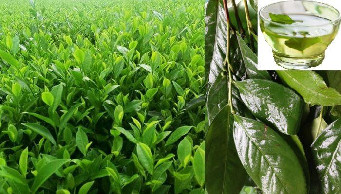 Cách dùng cây chè xanh chữa bệnh và tăng cường sức khỏe