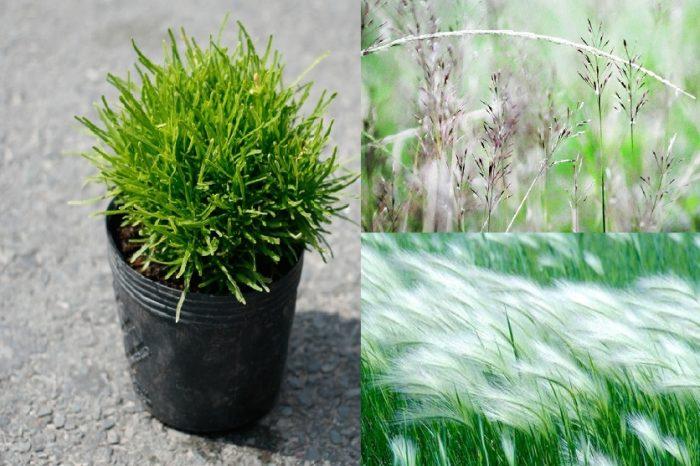 Cách dùng cây cỏ may chữa bệnh hiệu quả ra sao?