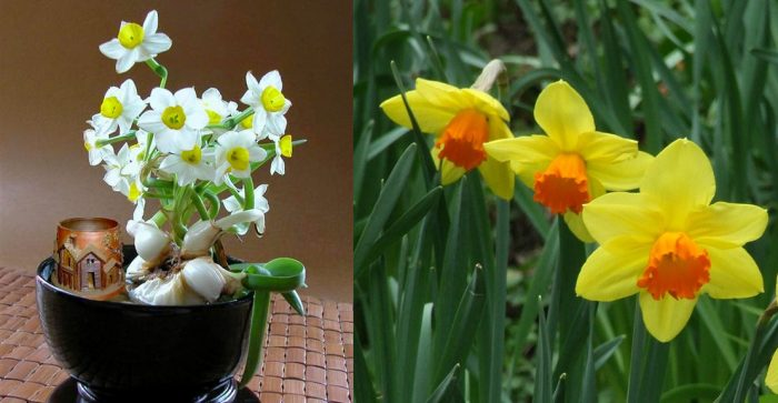Cách dùng cây hoa thủy tiên