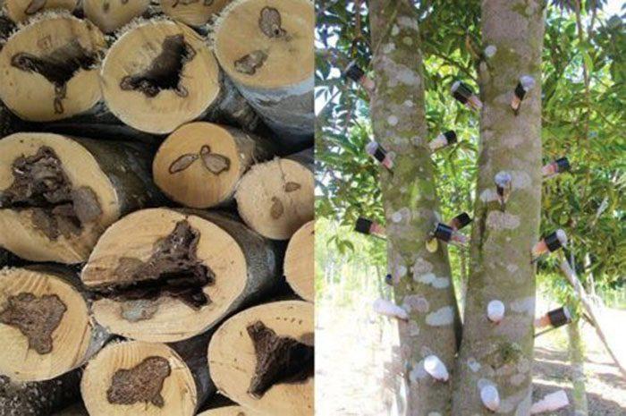 Cách dùng cây trầm hương