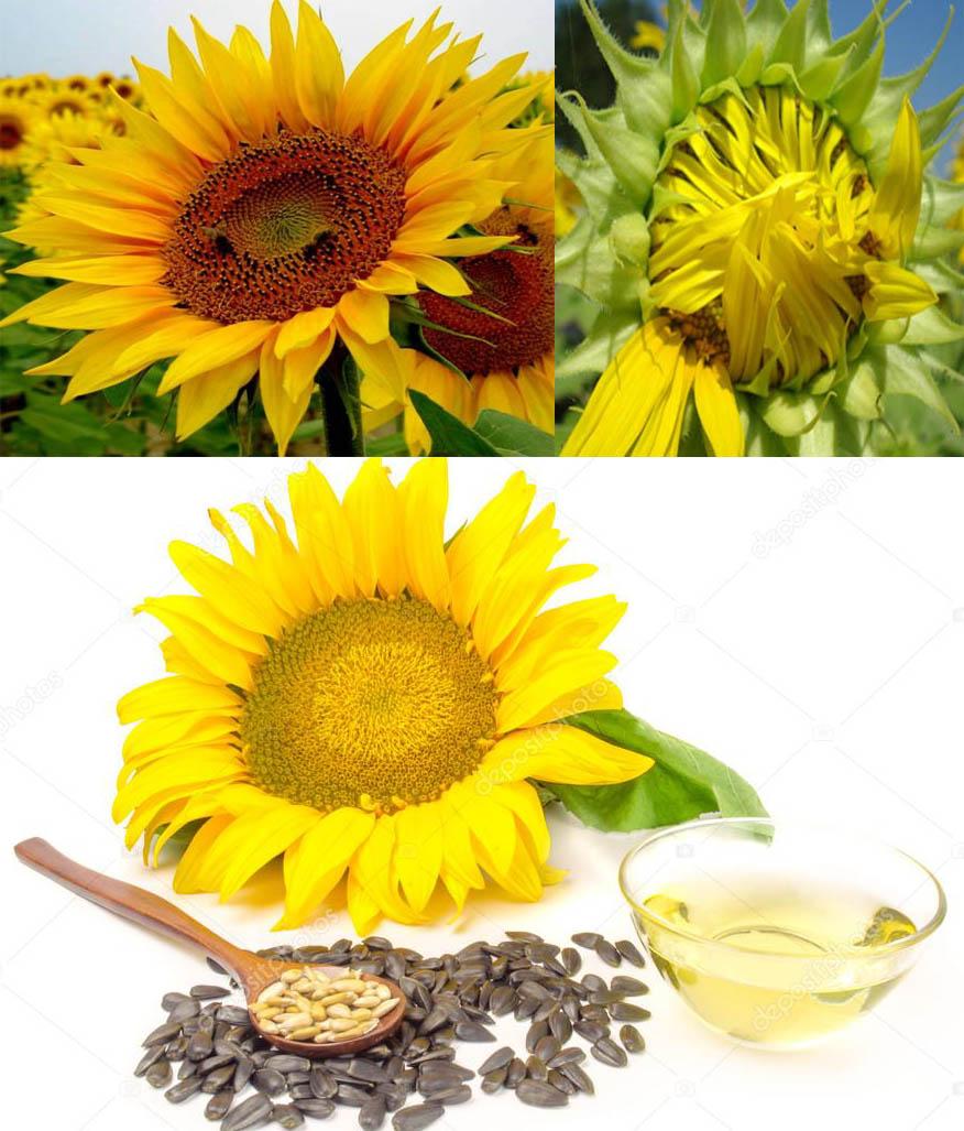 Cách dùng hoa hướng dương