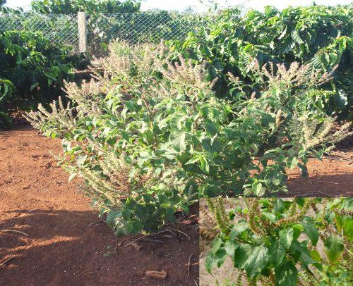 Cách dùng cây hương nhu