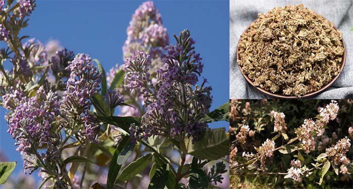 Cách dùng mật mông hoa