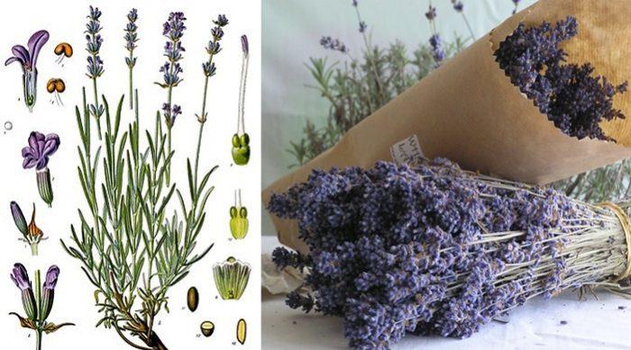 Cách nhận biết hoa oải hương