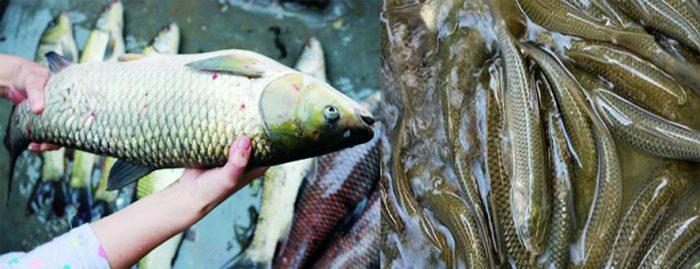 Cách nuôi cá trắm