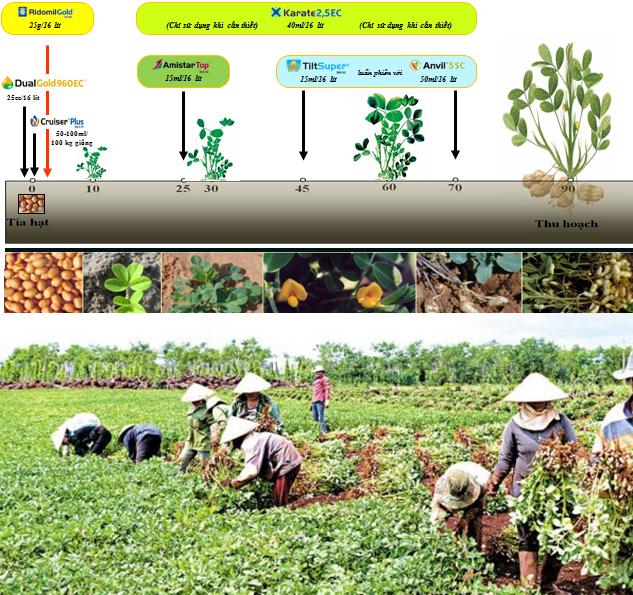 Cách trồng cây đậu phộng