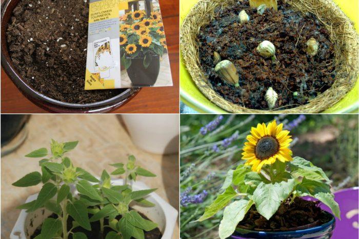 Cách trồng cây hoa hướng dương