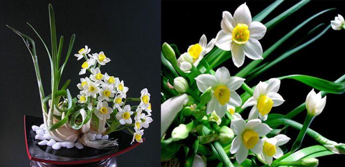 Cách trồng cây hoa thủy tiên