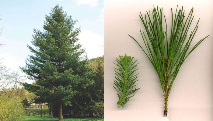 Cách trồng cây thông nhựa