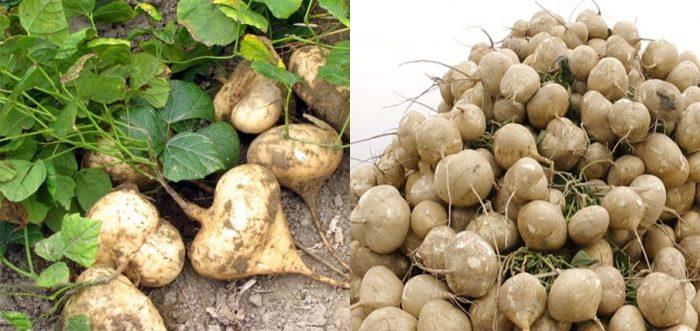 Cách trồng củ đậu