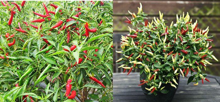 Cách trồng ớt