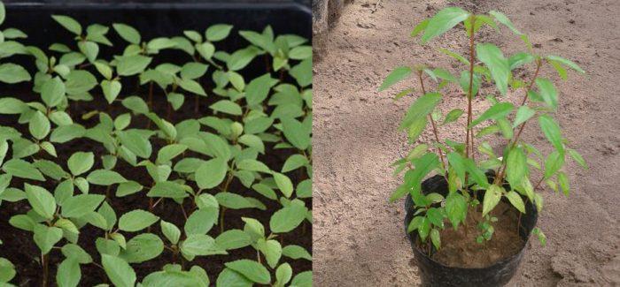 Cách trồng rau đay