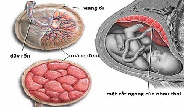Cấu tạo và thành phần có trong nhau thai