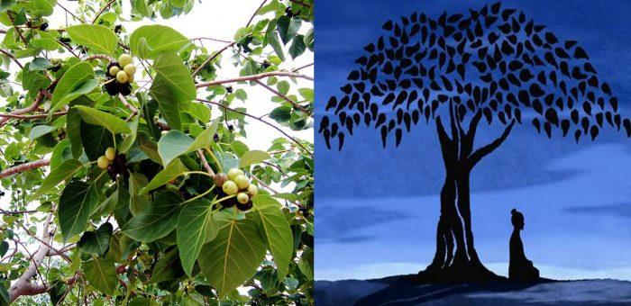 Tác dụng của cây bồ đề và cách dùng đúng cách cùng hình ảnh cây bồ đề