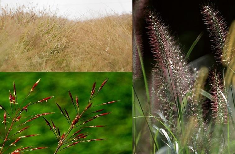 Cây cỏ may là gì và có đặc điểm như thế nào?