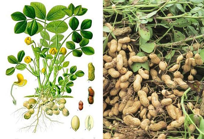 Thành phần dược chất của cây đậu phộng có tác dụng gì và cách sử dụng