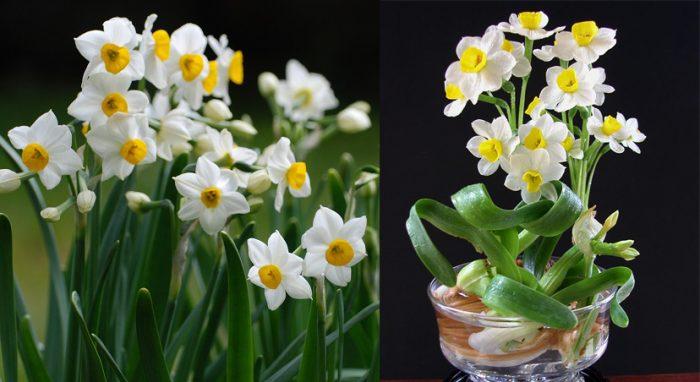 Tác dụng của cây hoa thủy tiên và lưu ý khi sử dụng cây hoa thủy tiên