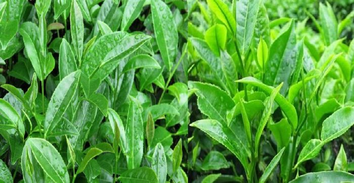 Cây trà là gì và đặc điểm của cây trà