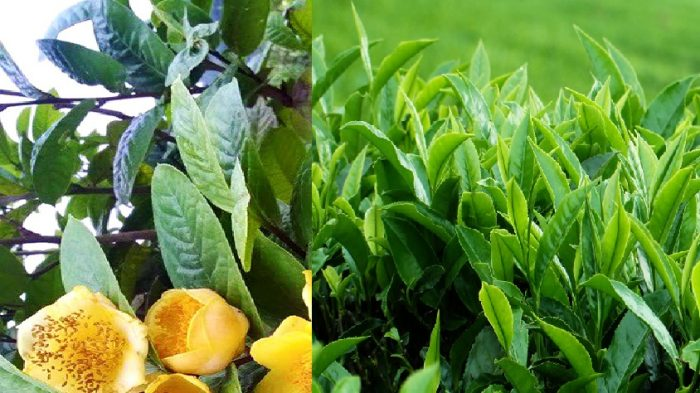Công dụng của cây trà giúp chữa bệnh và bảo vệ sức khỏe