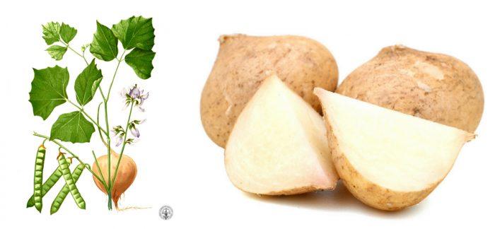 Củ đậu có công dụng gì và cách dùng cũng như cách trồng củ đậu