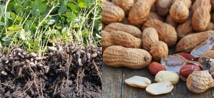 Giá cây đậu phộng