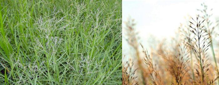 Giá thành cây cỏ may khô như thế nào?