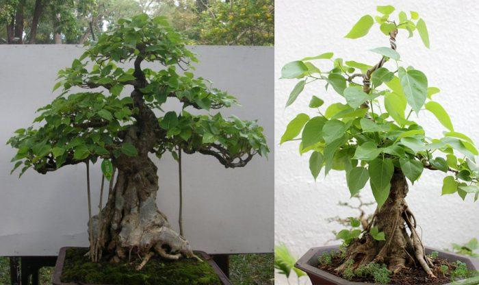 Hình ảnh cây bồ đề cảnh