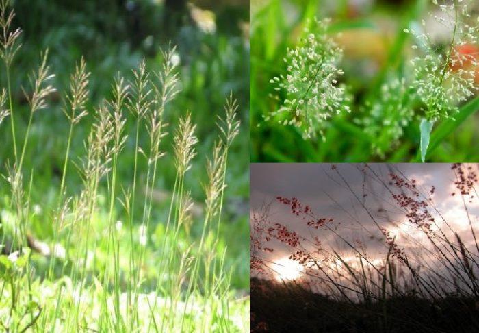 Hình ảnh cây cỏ may ngoài đời thực