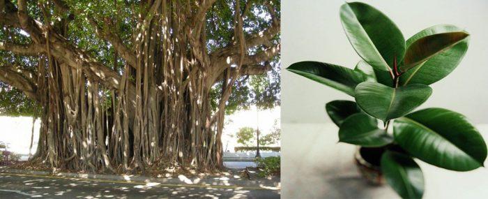 Hình ảnh cây đa