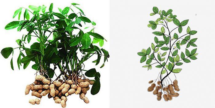 Hình ảnh cây đậu phộng