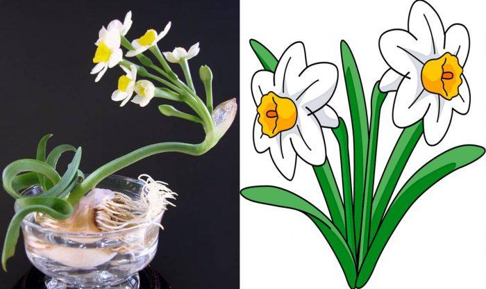 Hình ảnh cây hoa thủy tiên