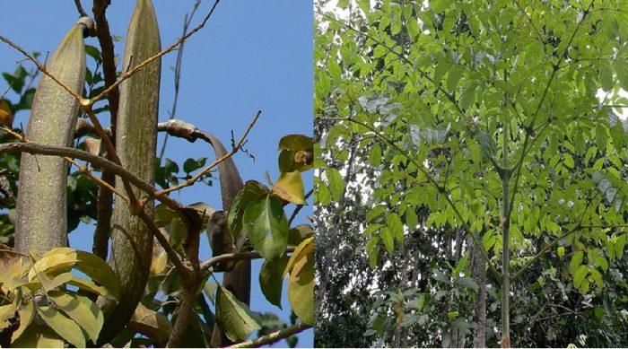 Hình ảnh cây núc nác rừng