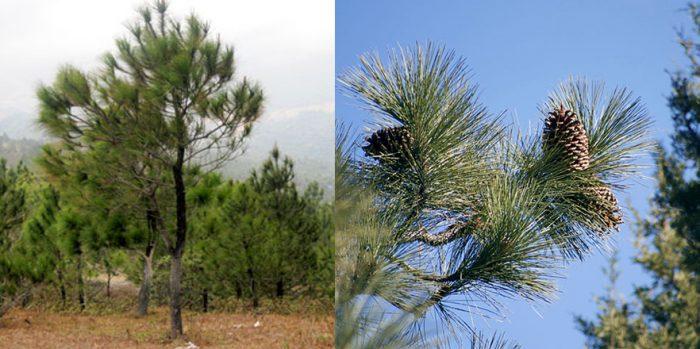 Hình ảnh cây thông nhựa