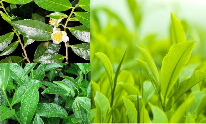 Hình ảnh cây trà xanh Việt Nam