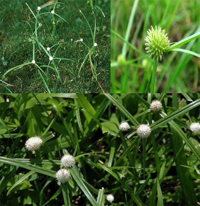 Hình ảnh cỏ bạc đầu